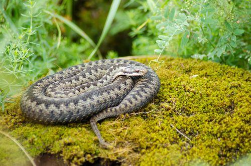 Prvá pomoc pri uhryznutí hadom